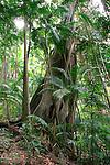 Strangler Fig, Mt Warning National Park