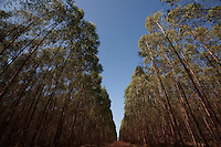 Varzea da Palma_MG, Brasil...Plantacao de eucalipto em Varzea da Palma, Minas Gerais...Eucalyptus in Varzea da Palma, Minas Gerais...Foto: LEO DRUMOND / NITRO