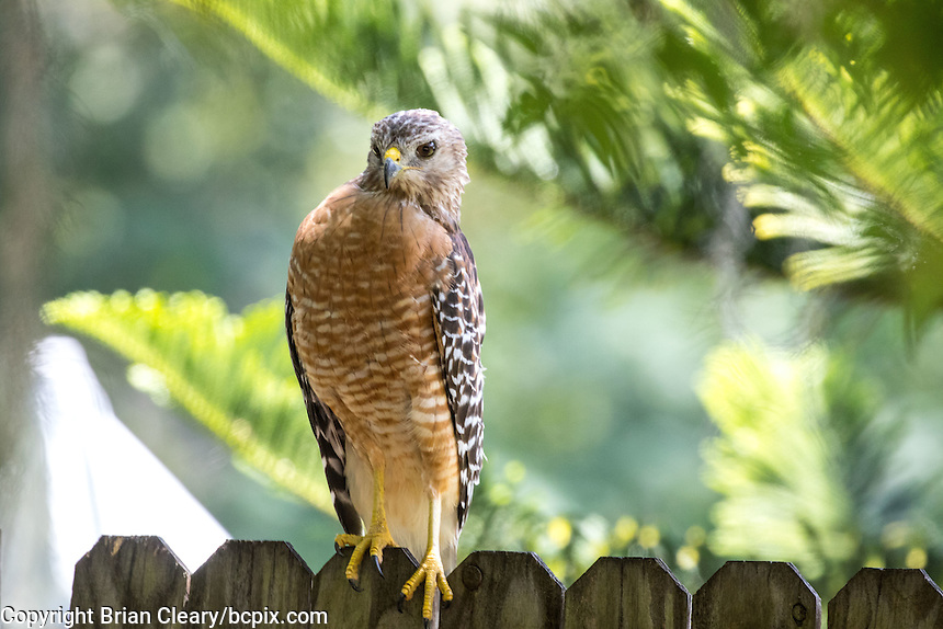 A Hawk in a Holly Hill, Fl backyard in July 2016. (Photo by Brian Cleary/ www.bcpix.com )