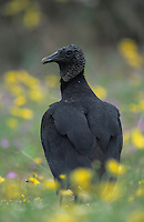 Black Vulture, Coragyps atratus, adult in wildflowers, Willacy County, Rio Grande Valley, Texas, USA