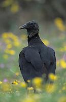 Black Vulture, Coragyps atratus, adult in wildflowers, Willacy County, Rio Grande Valley, Texas, USA