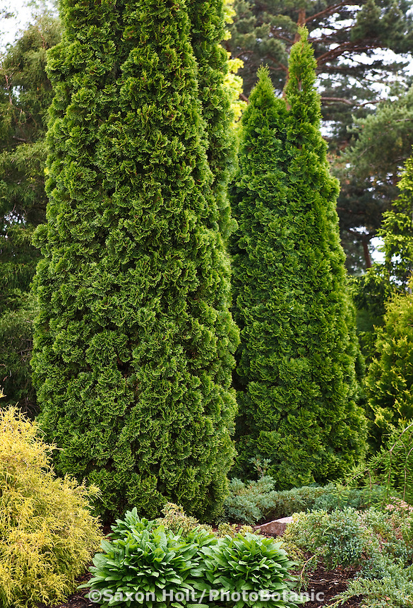 Holt 606 390 cr2 photobotanic stock photography garden library for Columnar evergreen trees for small gardens