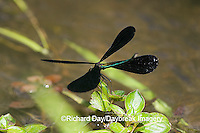 06014-002.05 Ebony Jewelwing (Calopteryx maculata) male displaying, Lawrence Co. IL