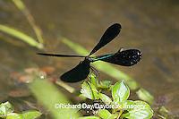 06014-002.05 Ebony Jewelwing (Calopteryx maculata) male displaying, Lawrence Co. IL