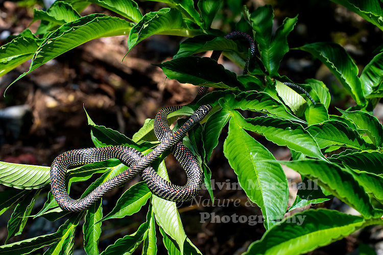Paradise tree snake or Paradise flying snake, Chrysopelea paradisi, is a species of snake found in southeastern Asia. Gunung Leuser National Park - Bukit Lawang (Northern Sumatra) Indonesia