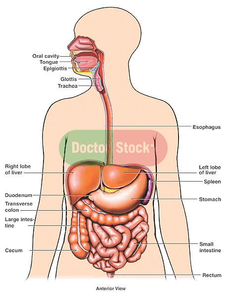 Anatomy of the digestive system organs doctor stock this medical exhibit diagram depicts the major organs of digestion within a generic body outline including ccuart Choice Image