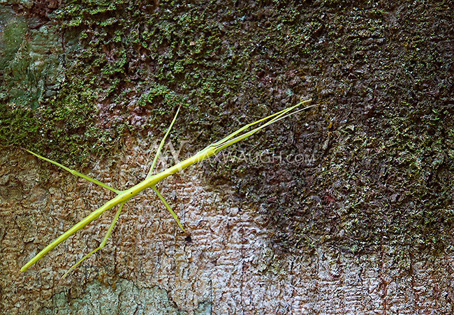 A bright green stick insect found near the trail.