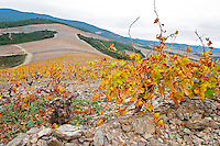 Chateau des Erles. In Villeneuve-les-Corbieres. Fitou. Languedoc. Vines trained in Gobelet pruning. Vine leaves. Old, gnarled and twisting vine. Terroir soil. Spectacular view vista over the hilltop vineyard dominated by shist. France. Europe. Schist slate soil.