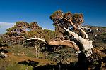 Foxtail Pine (pinus balfouriana) tree growing out of rocks, Desolation Wilderness, El Dorado National Forest, California