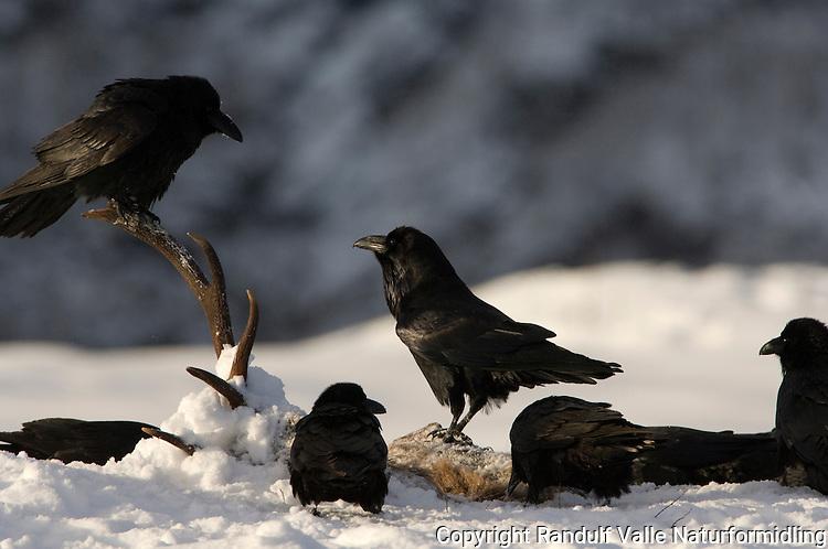 Ravner på åtsel ( hjort ) ---- Ravens on deer carcass