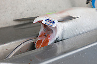 "Red salmon being pressure bled as part of the ""at sea processing""  procedure during a 12 hour sockeye and king salmon opener on the Copper River Delta, southcentral, Alaska."