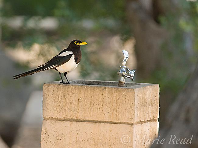 Yellow-billed Magpie (Pica nuttalli), on a water fountain, Nojoqui Falls County Park, Santa Barbara County, California, USA