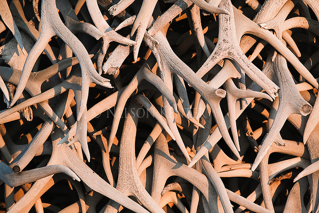 A stack of shed antlers at the National Bison Range in Montana
