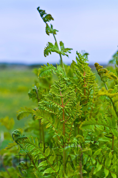 Ferns growing in turf bog at Mountrivers, County Clare, West of Ireland