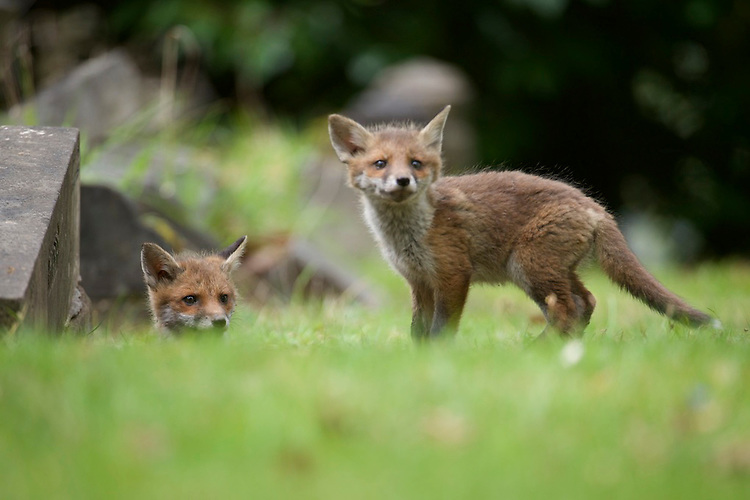 Urban living Red fox cubs (Vulpes vulpes) leaving it's earth under a grave stone.
