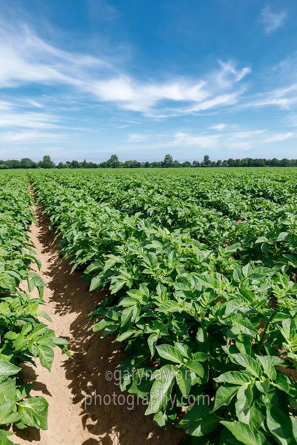 Potato canopy - Lincolnshire, June