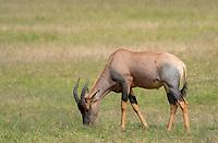 Topi, Damaliscus lunatus jimela, grazing in Maasai Mara National Reserve, Kenya