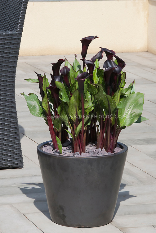 Black Flowers Of Calla Lily In Pot Plant Flower Stock