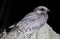 We had good luck with a number of different nightjar species in Emas National Park.  The White-winged nightjar is endangered.
