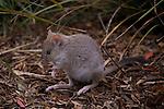 Tasmanian bettong (bettongia gaimardi) ne se trouve qu'en tasmanie