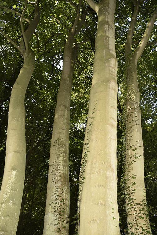 Sycamore - Acer pseudoplatanus