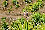 donkey trail between caldeira de Cova and  Pau valley. Santo Antao island..Ne pas se pencher sous peine de vertige... Accroche au flanc de l ancien volcan, le sentier empierre serpente au dessus du vide. On descend avec précaution cet ancien chemin muletier qui relie la caldeira de Cova a la vallee de Paul. Ile de Sant Antao