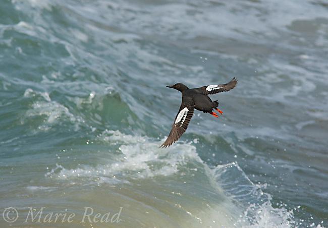 Pigeon Guillemot (Cepphus columba), in flight over waves, Santa Cruz,   California, USA