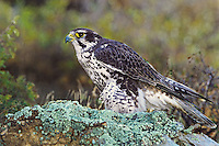 528000017 a captive prairie falcon falco mexicanus perches on a lichen-covered rock in central colorado