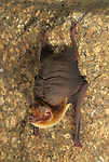 A Davy's Naked-Backed Bat (Pteronoctus davyi) Alamos, Sonora, Mexico