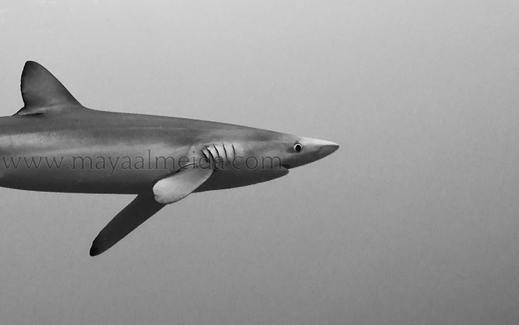 The blue shark (Prionace glauca) is a species of requiem shark, family Carcharhinidae, that inhabits deep waters in the world's temperate and tropical oceans