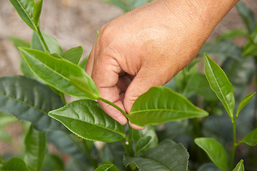 The top portion of the tea plant which is hand-picked to make specialty green tea.