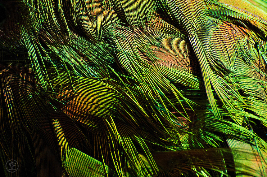 Bright green feathers create ruffled patterns on a peacock's tail.