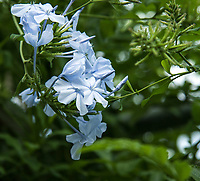 The Beautiful Emily is also known as Blue Jasmine and Plumbago. It is a wooden semi-shrub with small and tubular flowers while petals are rounded and available in white, light blue and dark blue. The Beautiful Emily is definitely a great ornament in a garden. It can be used as a hedge along a fence or a wall that will define your space.