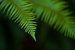 Close-up of ferns in forest setting rich greens and nature's patterns.