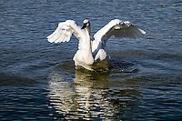The trumpeter swan  is the heaviest living bird native to North America, it is also the largest extant species of waterfowl with a wingspan that may exceed 10 ft. It is the American counterpart and a close relative of the whooper swan of Eurasia, and even has been considered the same species by some authorities. By 1933, fewer than 70 wild trumpeters were known to exist, and extinction seemed imminent, until aerial surveys discovered a Pacific population of several thousand trumpeters around Alaska's Copper River. Careful reintroductions by wildlife agencies and the Trumpeter Swan Society gradually restored the North American wild population to over 46,000 birds by 2010.