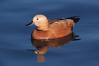 Ruddy Shelduck (Tadorna ferruginea), adult swimming, Switzerland