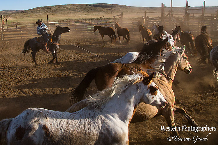 A photo of a cowboy roping a horse to start spring work on. Cowboy Photos, riding,roping,horseback