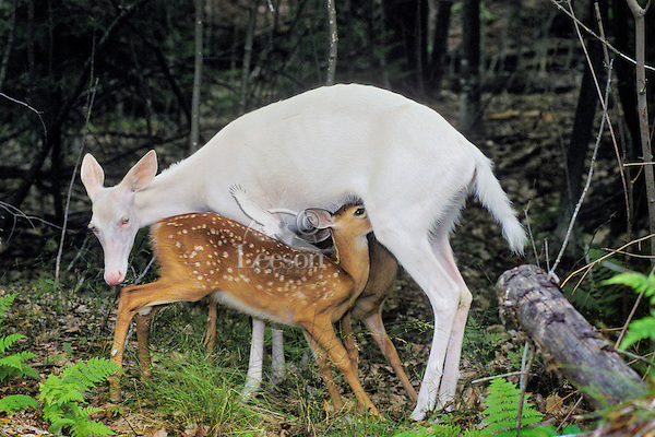 Albino White-tailed Deer doe nursing normal colored fawns.