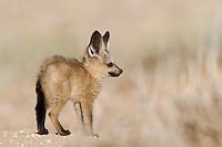 Side view of Bat-eared fox pup standing