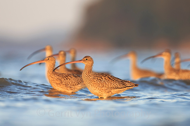The endangered Far Eastern Curlew (Numenius madagascariensis) is rapidly declining due to loss of habitat along its migratory route in the Yellow Sea. The Geum Estuary in South Korea is a key remaining location for this species. Geum Estuary, South Korea. October.