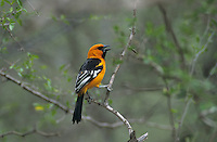 Altamira Oriole, Icterus gularis, adult singing, Bentsen State Park, Rio Grande Valley, Texas, USA, April 2001