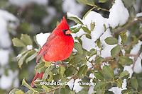 01530-21216 Northern Cardinal (Cardinalis cardinalis) male in American Holly tree (Ilex opaca) in winter, Marion Co., IL