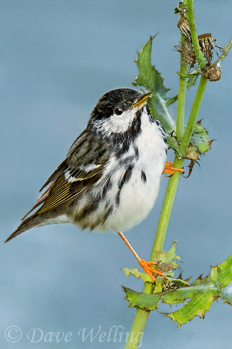 591510018 a wild male blackpoll warbler setophaga striata - was dendroica striata - in breeding plumage perches on a weed stalk on south padre island texas united states