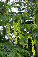 Kaukasische Flügelnuss, Kaukasische Flügelnuß, Pterocarya fraxinifolia, Caucasian wingnut, Caucasian walnut