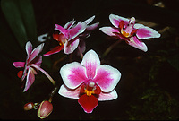Phalaenopsis Be Tris, Orchid Hybrid (Phal. Be Glad x equestris, 1989), miniature phalaenopsis