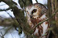 Adult Northern Saw-whet Owl (Aegolius acadicus) roosting in a cedar. Ontario, Canada. December.