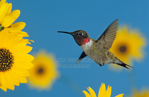 Ruby-throated Hummingbird, Archilochus colubris,male feeding on Sunflower, Welder Wildlife Refuge, Sinton, Texas, USA