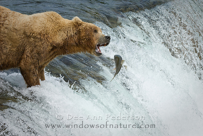 This dominant male secures the only spot on the top of the falls at Brooks Falls to catch salmon as they jump to advance over the falls and up stream.