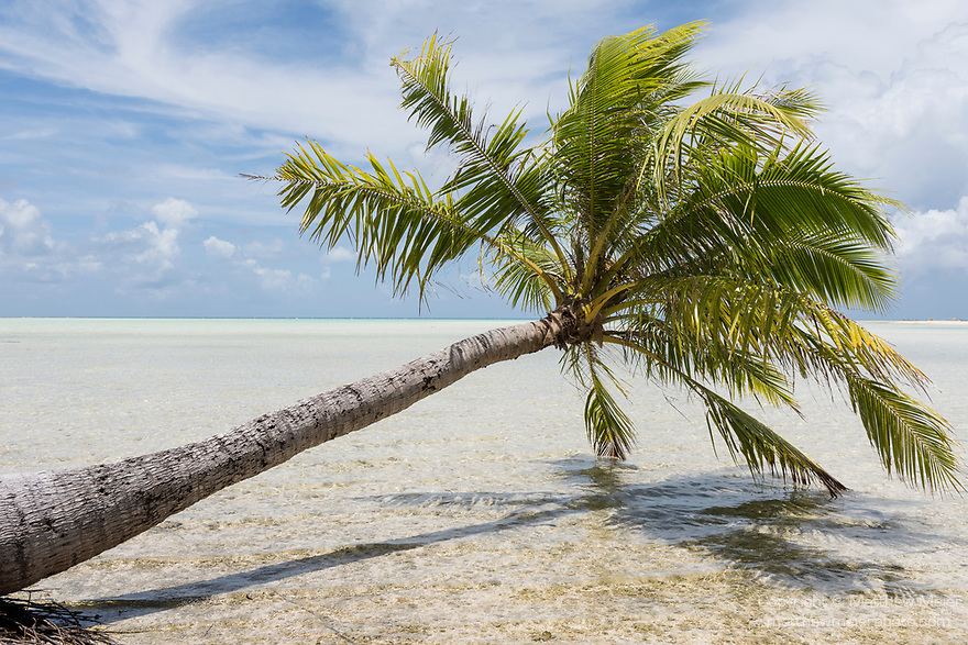 Blue Lagoon, Rangiroa Atoll, Tuamotu Archipelago, French Polynesia; a palm tree growing out over the water from the shore of the blue lagoon