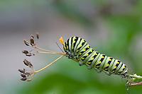 Black Swallowtail; Papilio polyxenes; caterpillar extending osmateria on dill; PA, Philadelphia